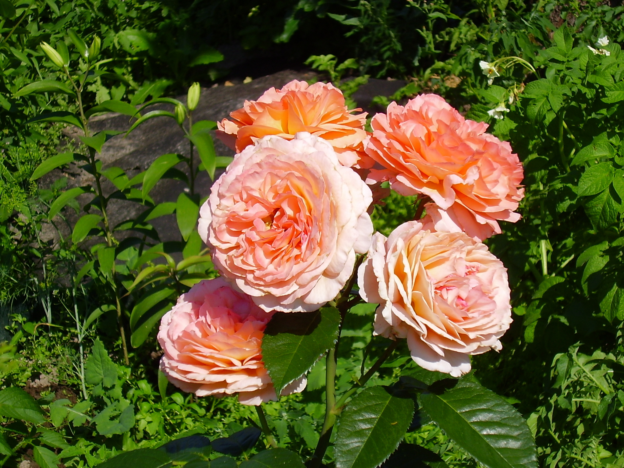 Розы с крупными цветами отлично смотрятся в стиле барокко.