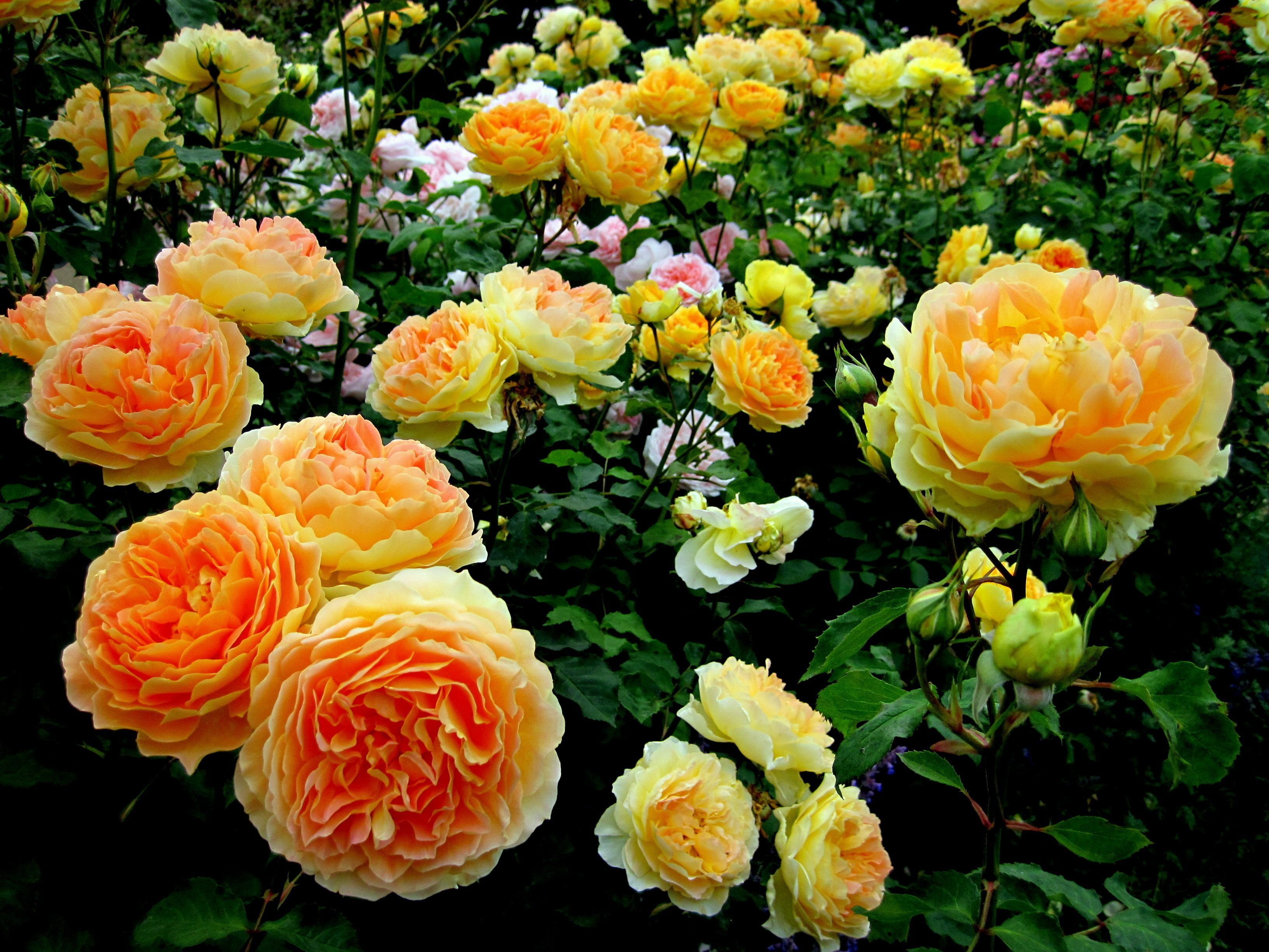 Цветы у шрабов ароматные, самой разнообразной расцветки.