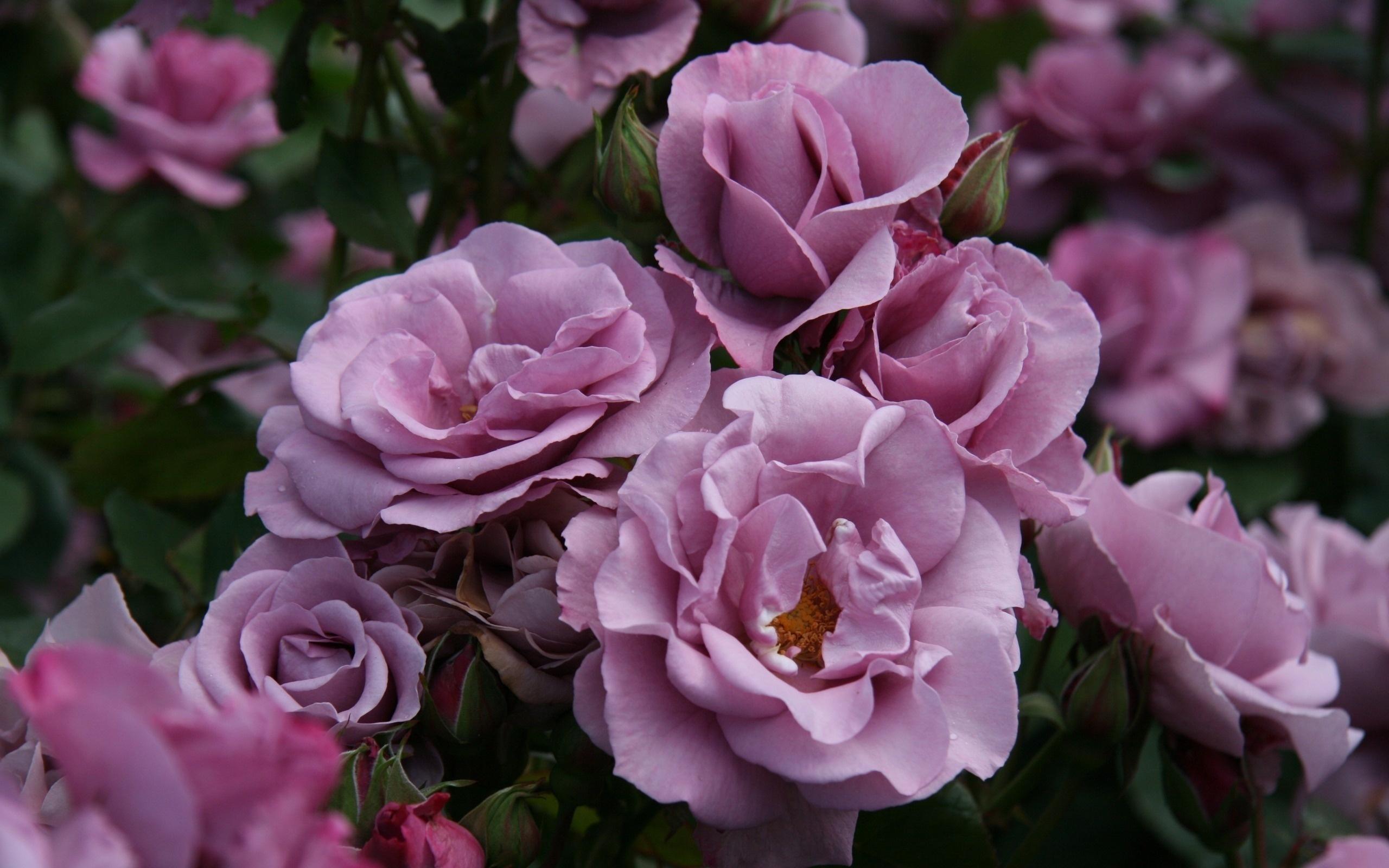 Роза способна украсить собой любой цветник, не зависимо от его размера, и растущих там растений.