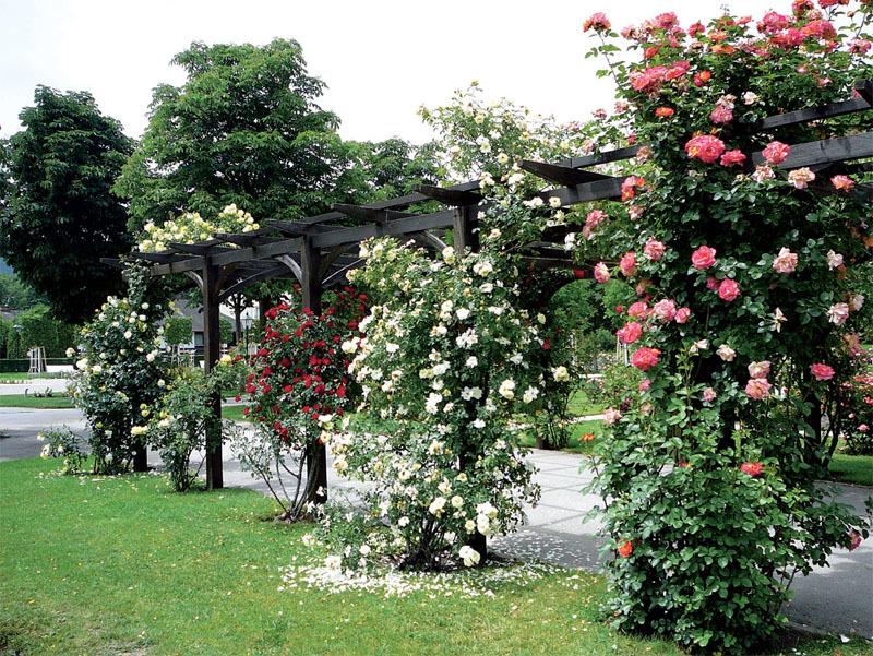 Австрия. Розарий в Бадене-Бадене.