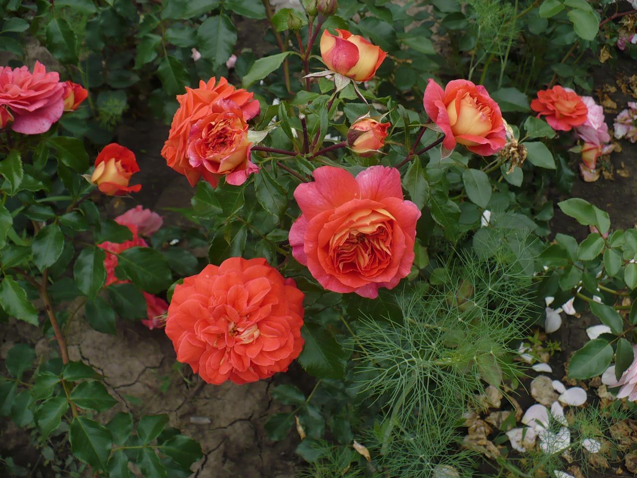 Gerbruder Grimm (Братья Гримм) - розы флорибунда.