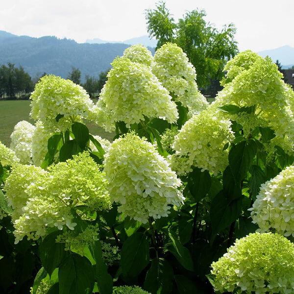 Гортензия метельчатая 'Limelight', Hydrangea paniculata 'Limelight'
