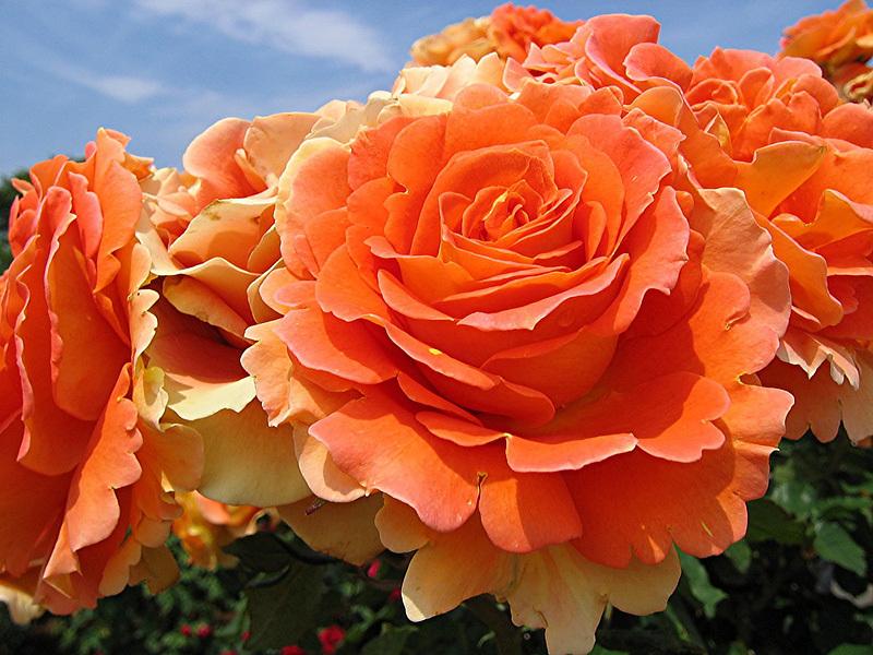 Роза бордюрная(патио) Mandarin