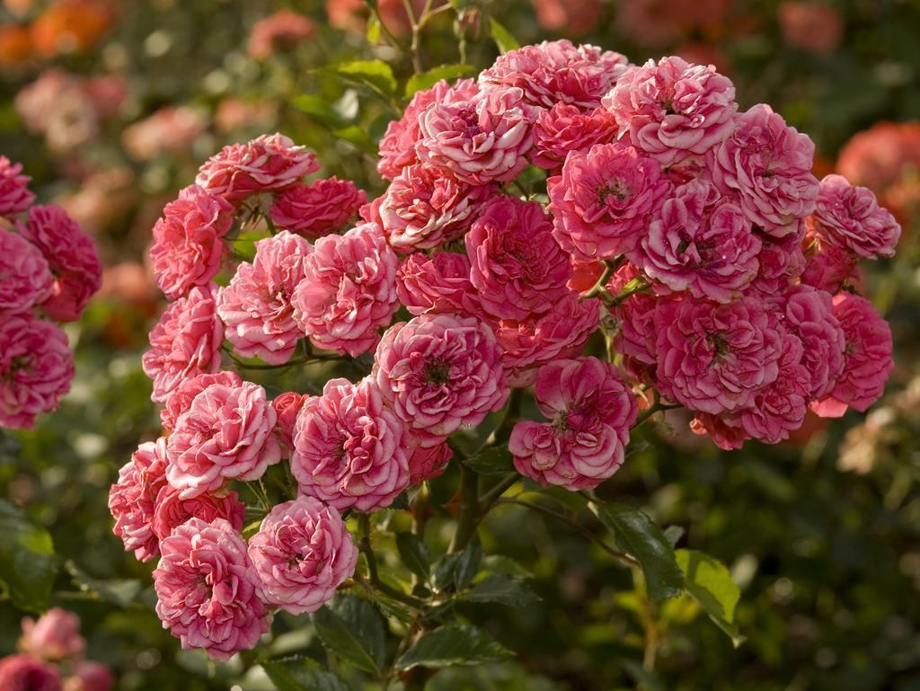 Цветы собраны в кисти по 5-15 штук.