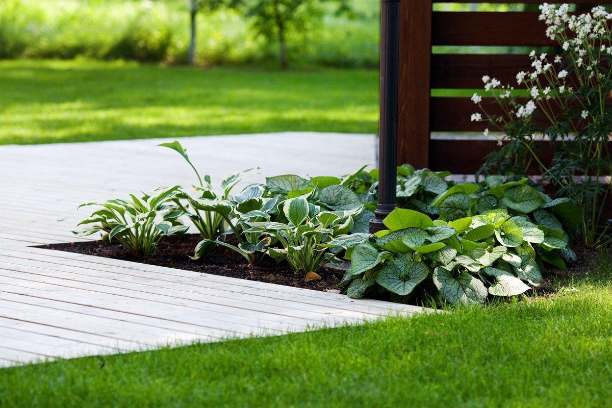 Роскошные зеленые розетки хосты образуются плотными прикорневыми листьями.