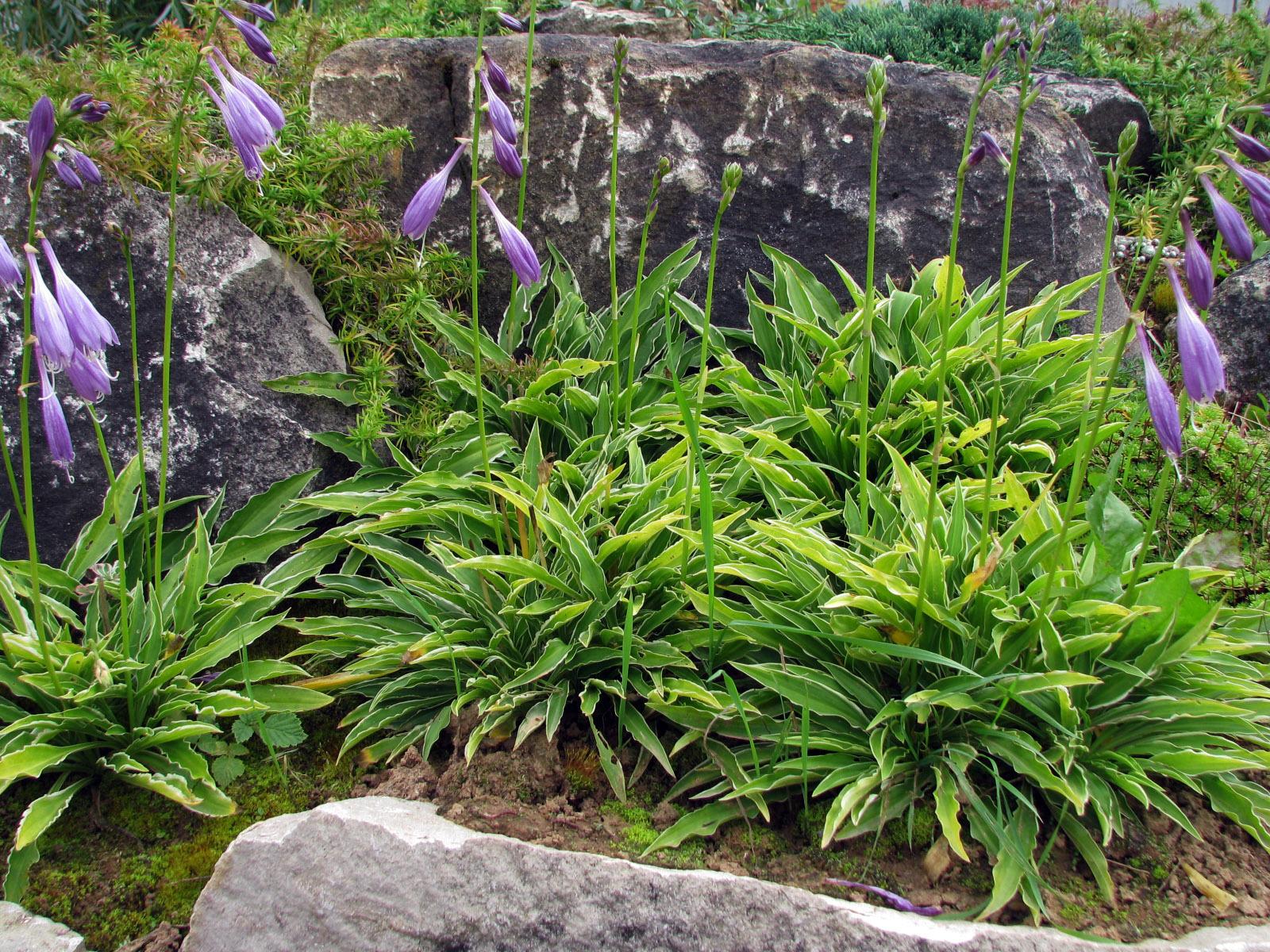 Хоста гибридная 'Стилетто' ('Stiletto') - Миниатюрная хоста с длинными, ланцетной формы зелеными листьями, окантованными бело - жёлтой каймой.Высота 25-30 см.