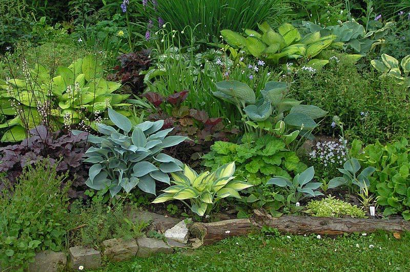 Хоста декоративна, как своей листвой (форма и расцветка удивляют разнообразием), так и изящными цветоносами.