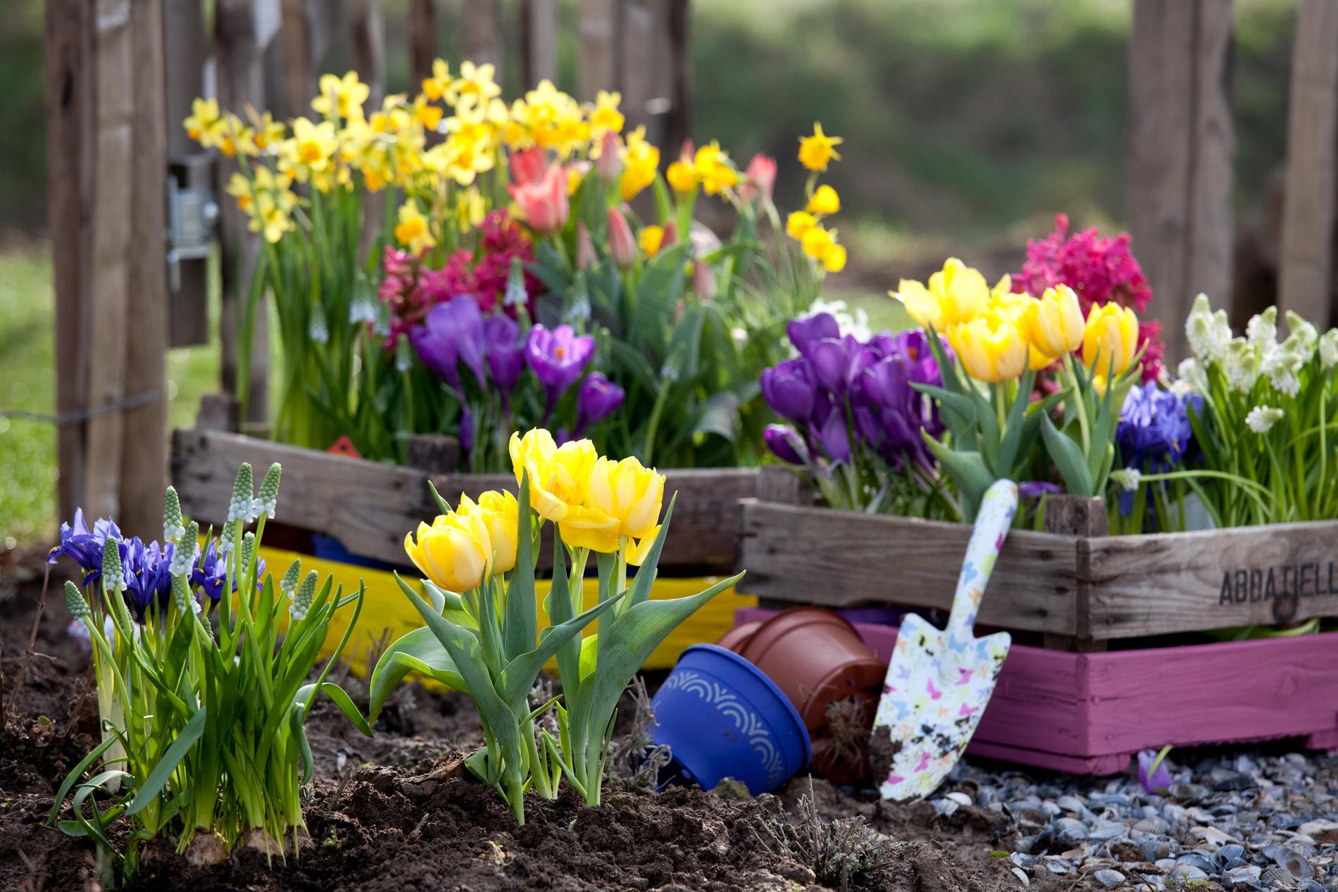 Луковичные цветы ценятся не только за прекрасное весеннее цветение, но и за возможность их выгонки в зимний период