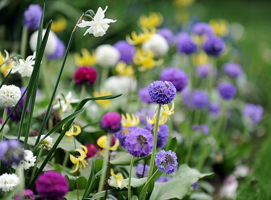 Самыми первыми радуют своим цветением весеннецветущие луковичные