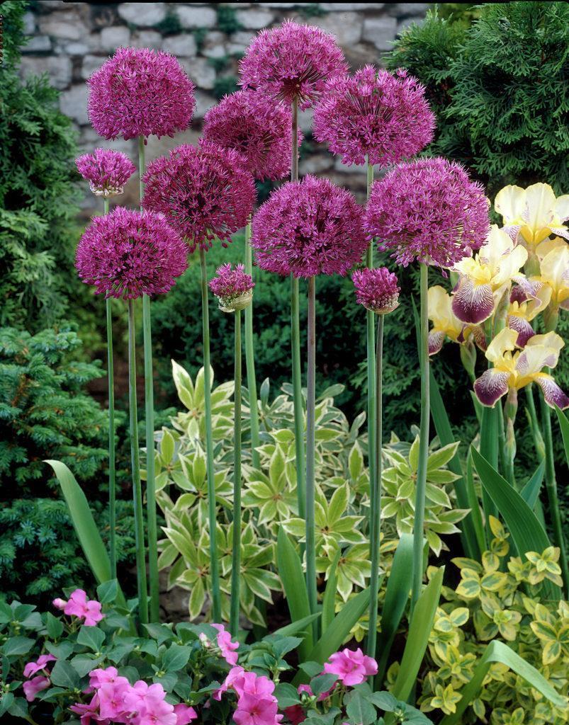 У некоторых сортов декоративного лука шары соцветий достигают 30 см в диаметре (Allium cristophii)