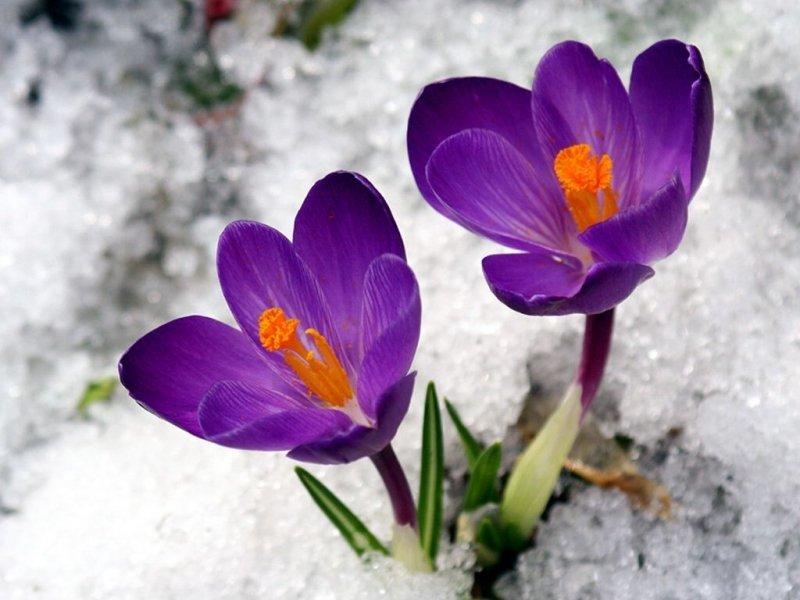 Крокусы зацветают в конце зимы.