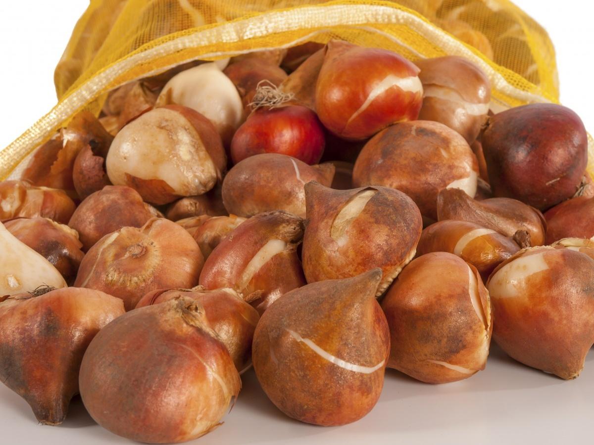 Луковицы храните в теплом, проветриваемом , темном месте до посадки.