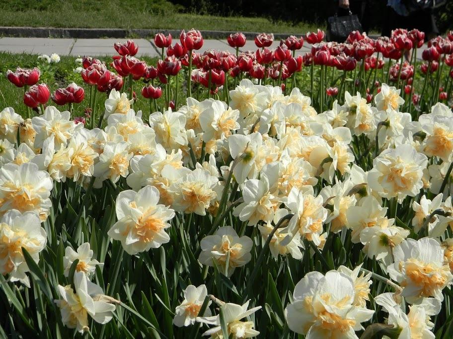 Лучше всего нарциссы смотрятся в соседстве с другими весенними луковичными: тюльпанами, крокусами, гиацинтами, морозниками.