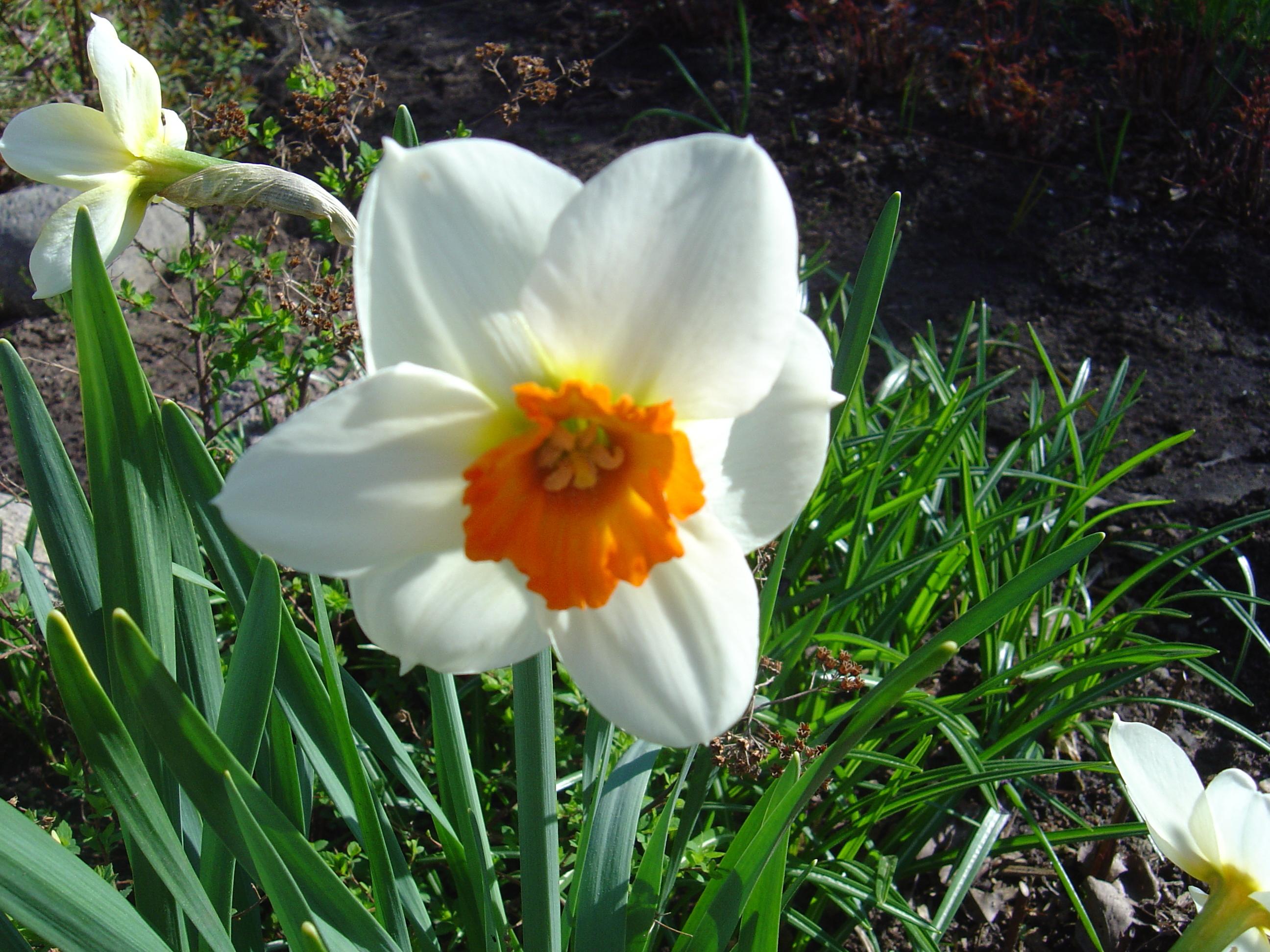 Нарцисс мелкокорончатый Barrett Browning. Продолжительность цветения 12-15 дней. Устойчив к болезням, хорошо размножается. Рекомендуется для выгонки в разные сроки и на срезку в открытом грунте.