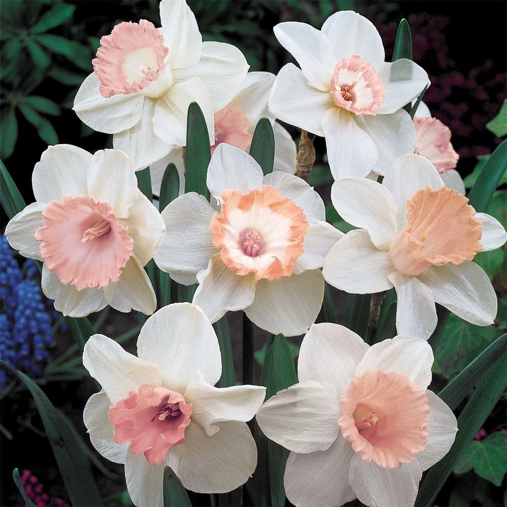 Нарцисс крупнокорончатый Пинк Шарм (Pink Charm)