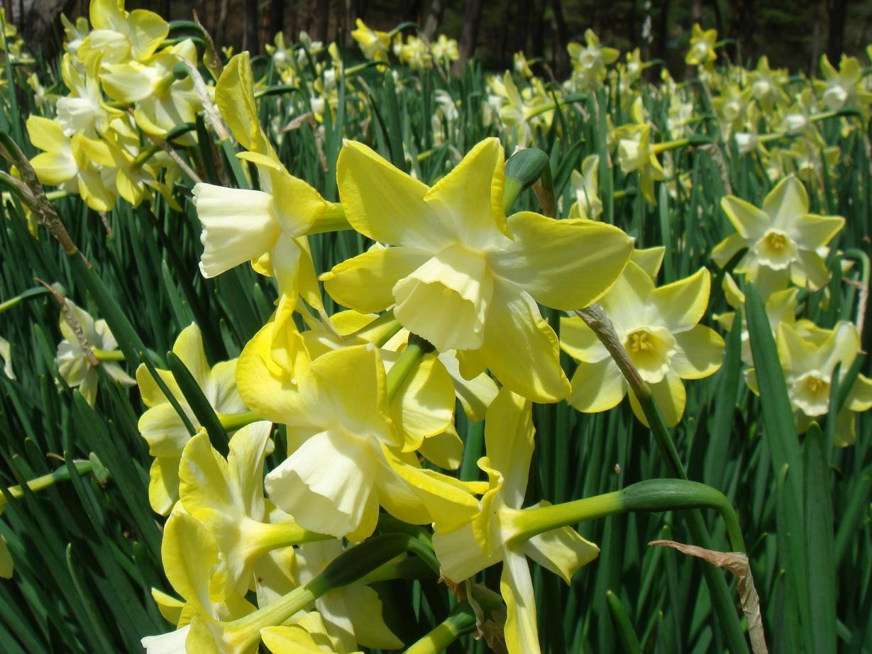 "Нарцисс жонкиллиевый ""Пипит"". Narcissus(Jonquilla) 'Pipit'."