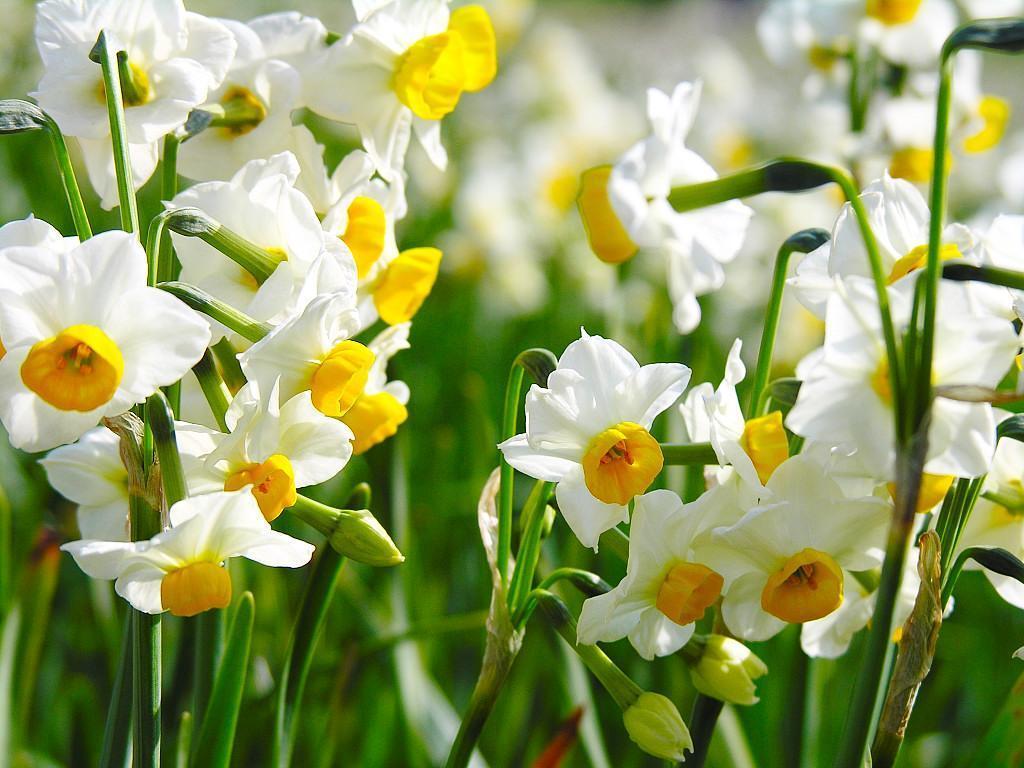 Сразу три цветка красуются на одном цветоносе у сорта Ла Райнт. Белая окраска всегда в фаворе, другие расцветки только оттеняют идеальный белый.