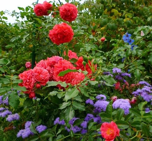Розы в саду. Дача.