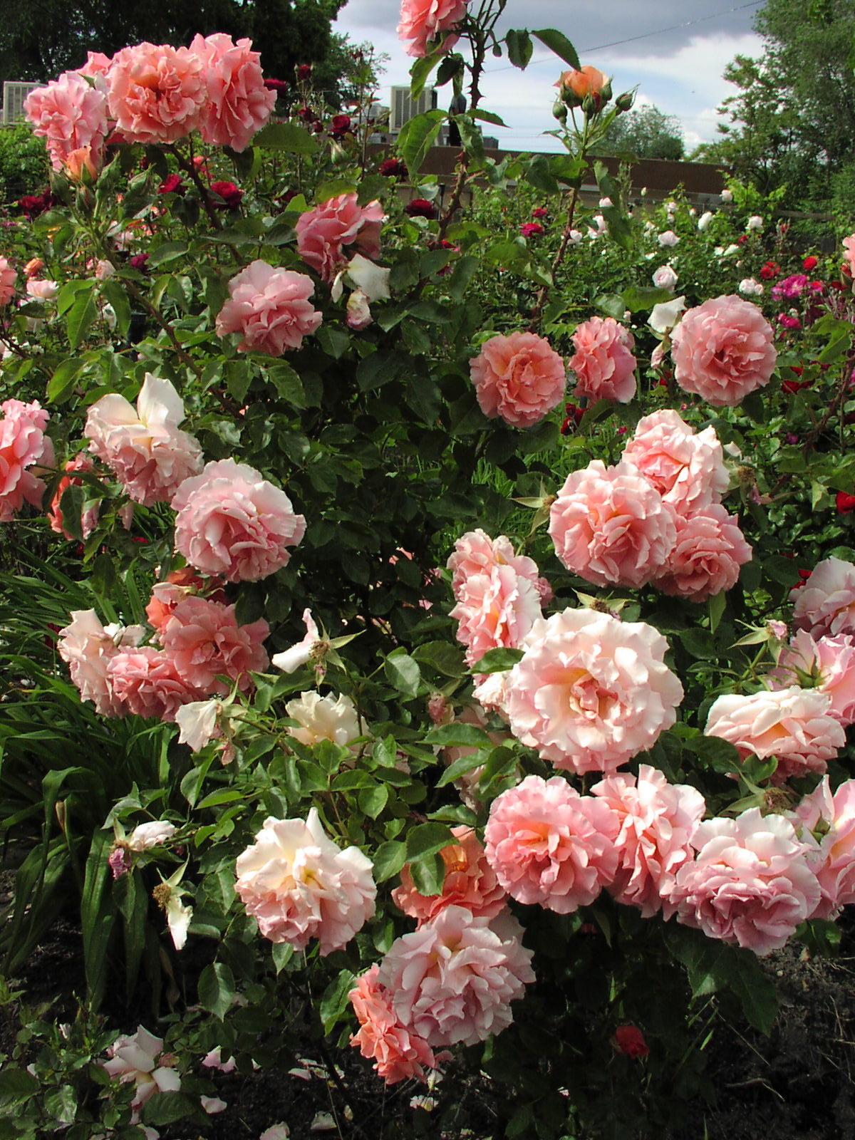 Роза в клумбе