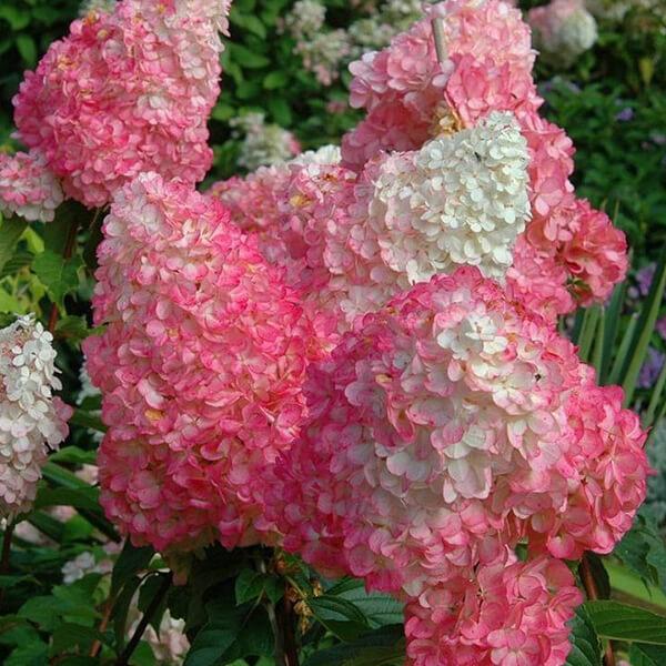 Гортензия метельчатая 'Vanille Fraise', Hydrangea paniculata 'Vanille Fraise'