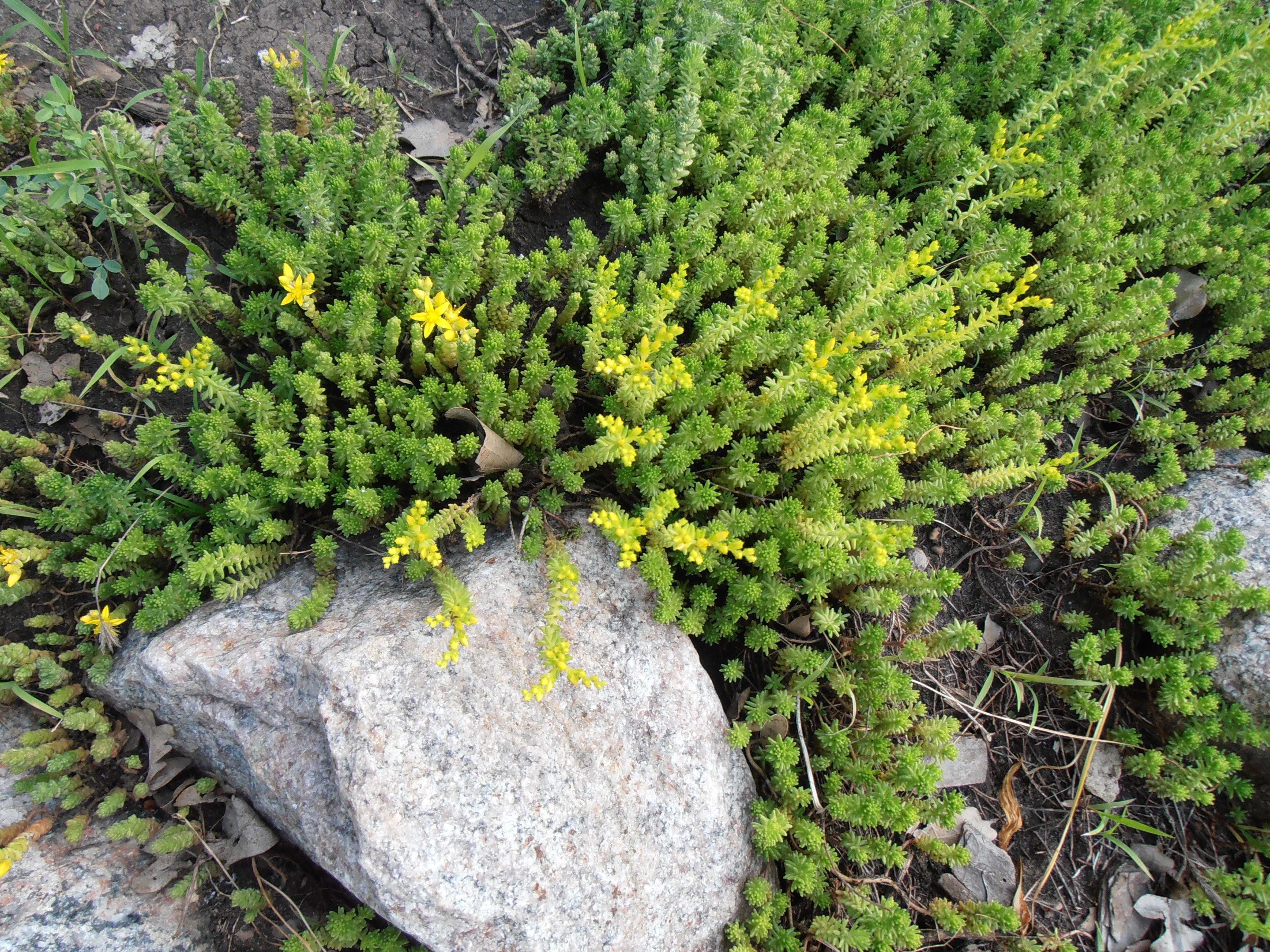 Седум едкий - почвопокровное растение.