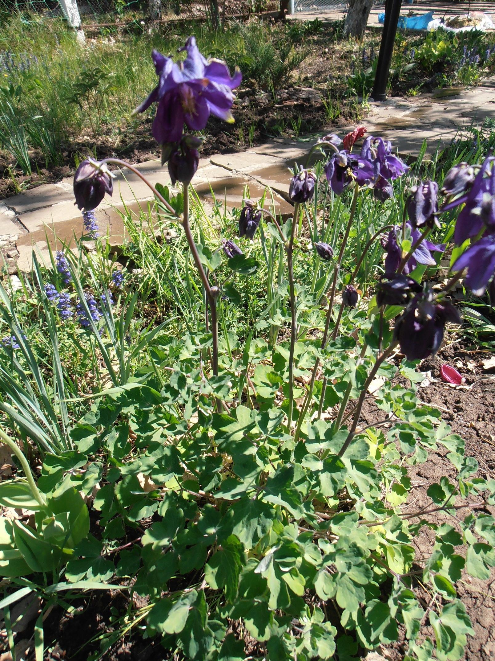 Из пышной розетки ажурных листьев появляются стебли высотой 30-50 см с крупными цветками сине-лилово-голубых тонов с коротким шпорцем.
