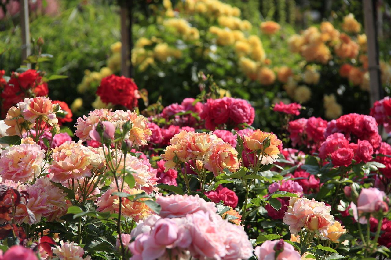 Тля часто располагается на молодых нежных побегах и на нижней стороне листьев роз