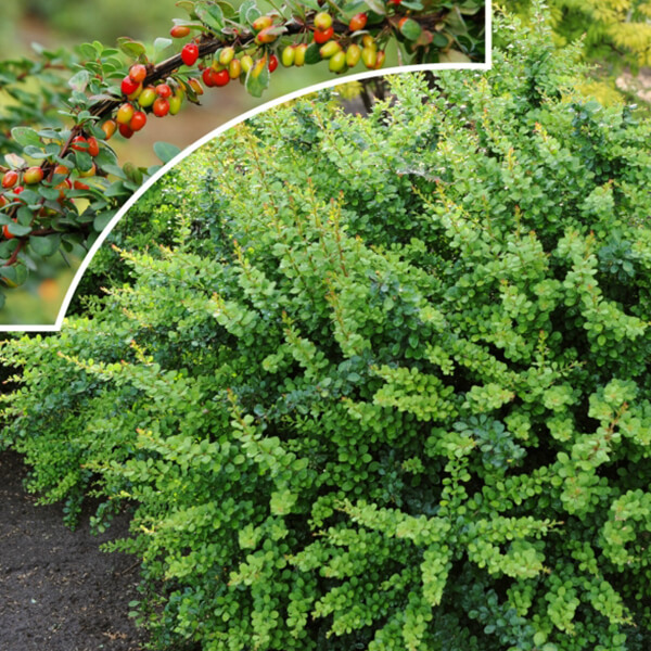 Барбарис Тунберга 'Green Ornament', Berberis thunbergii 'Green Ornament'