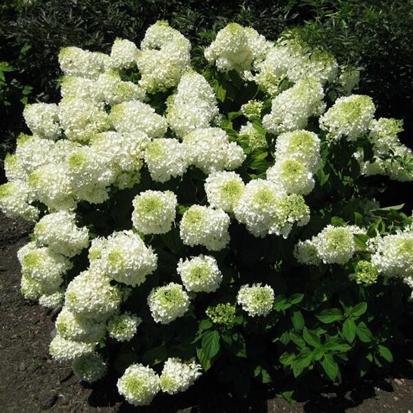 Гортензия метельчатая 'Phantom', Hydrangea paniculata 'Phantom'
