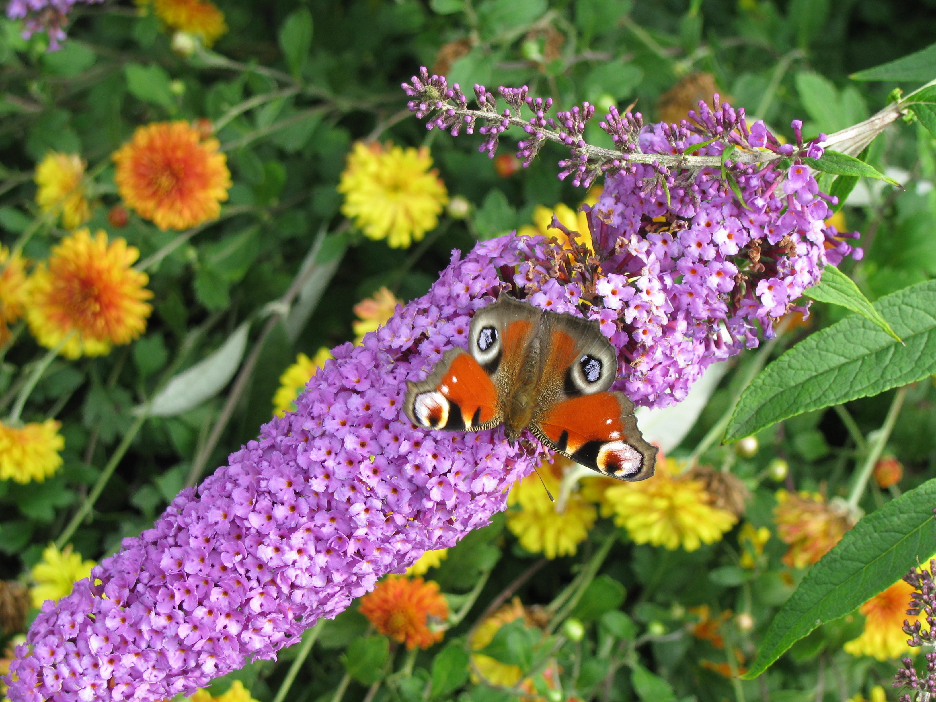 Ароматные соцветия пахнут гиацинтами и медом, привлекая к вам в сад много ярких бабочек!