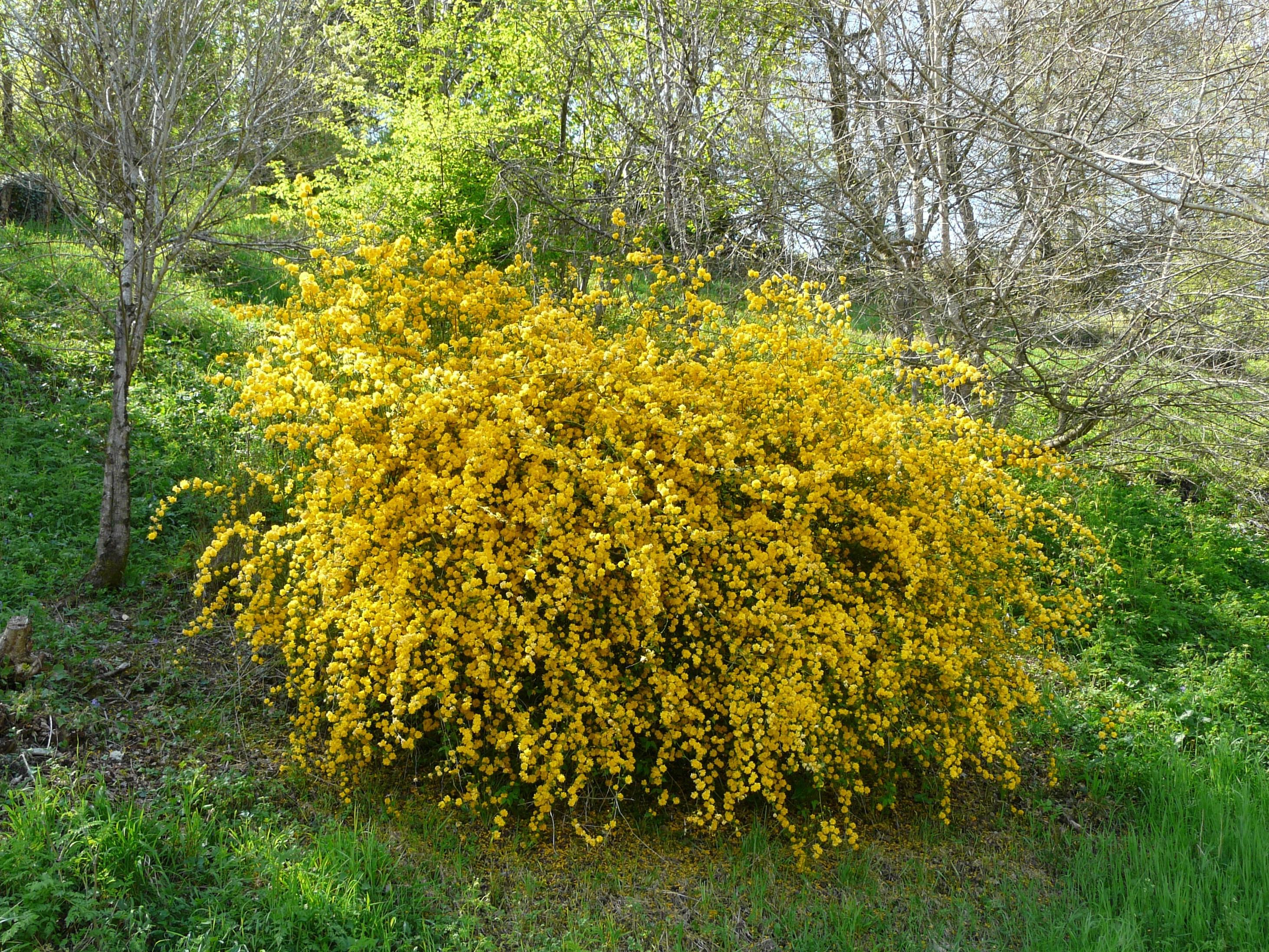 """""""Рleniflora"""" с густомахровыми цветками на 2-х метровых ветвях."""