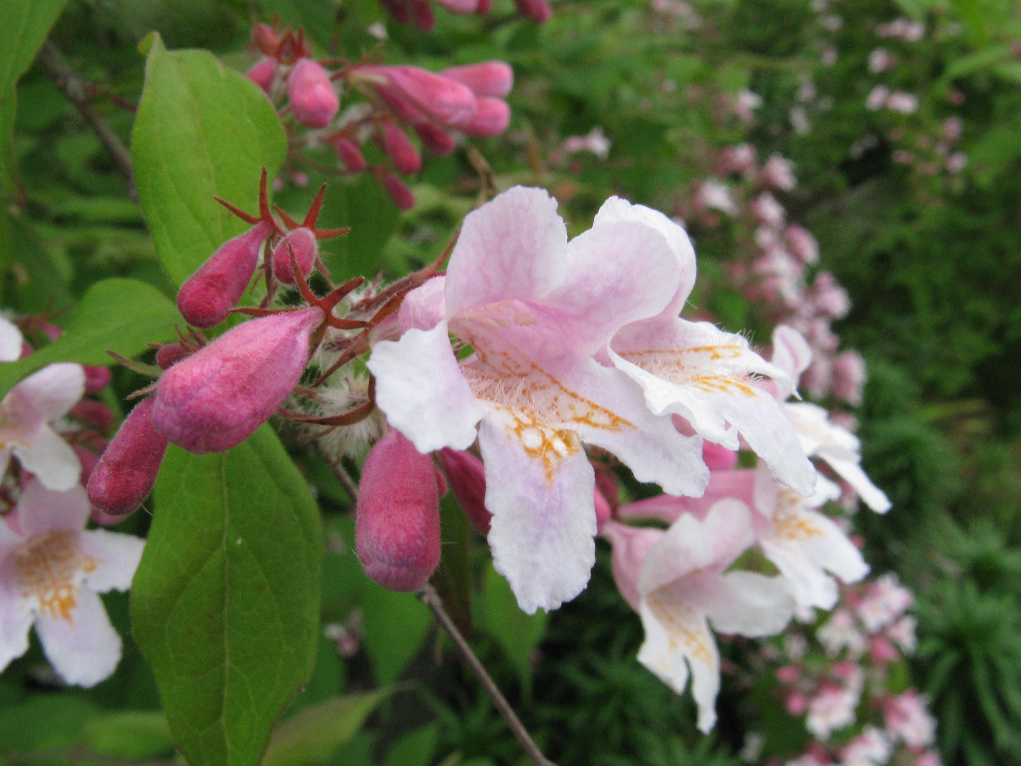 Кольквиция приятная (Kolwiktzia amabilis), листопадный кустарник, обильно цветущий колокольчатыми цветками