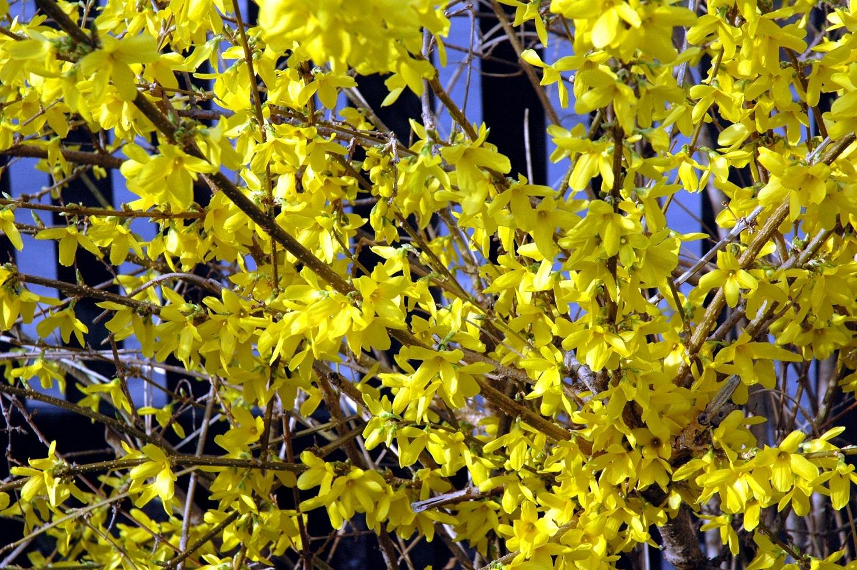 Цветки форзиции располагаются на голых ветвях и полностью их покрывают.
