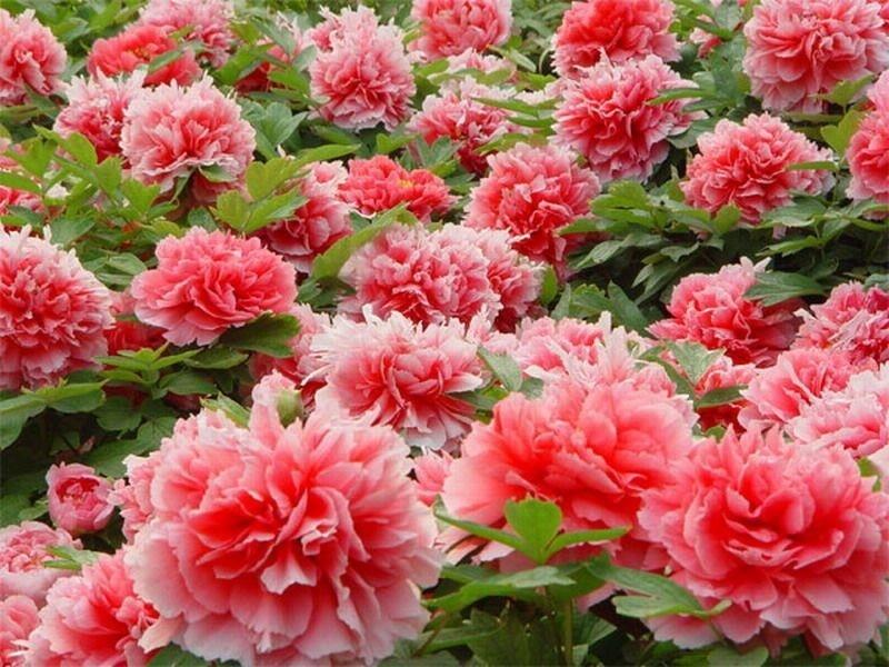 В зависимости от выбранного сорта цветки могут быть окрашены в белый, фисташковый, малиновый, коралловый, бордовый, фиолетовый цвета