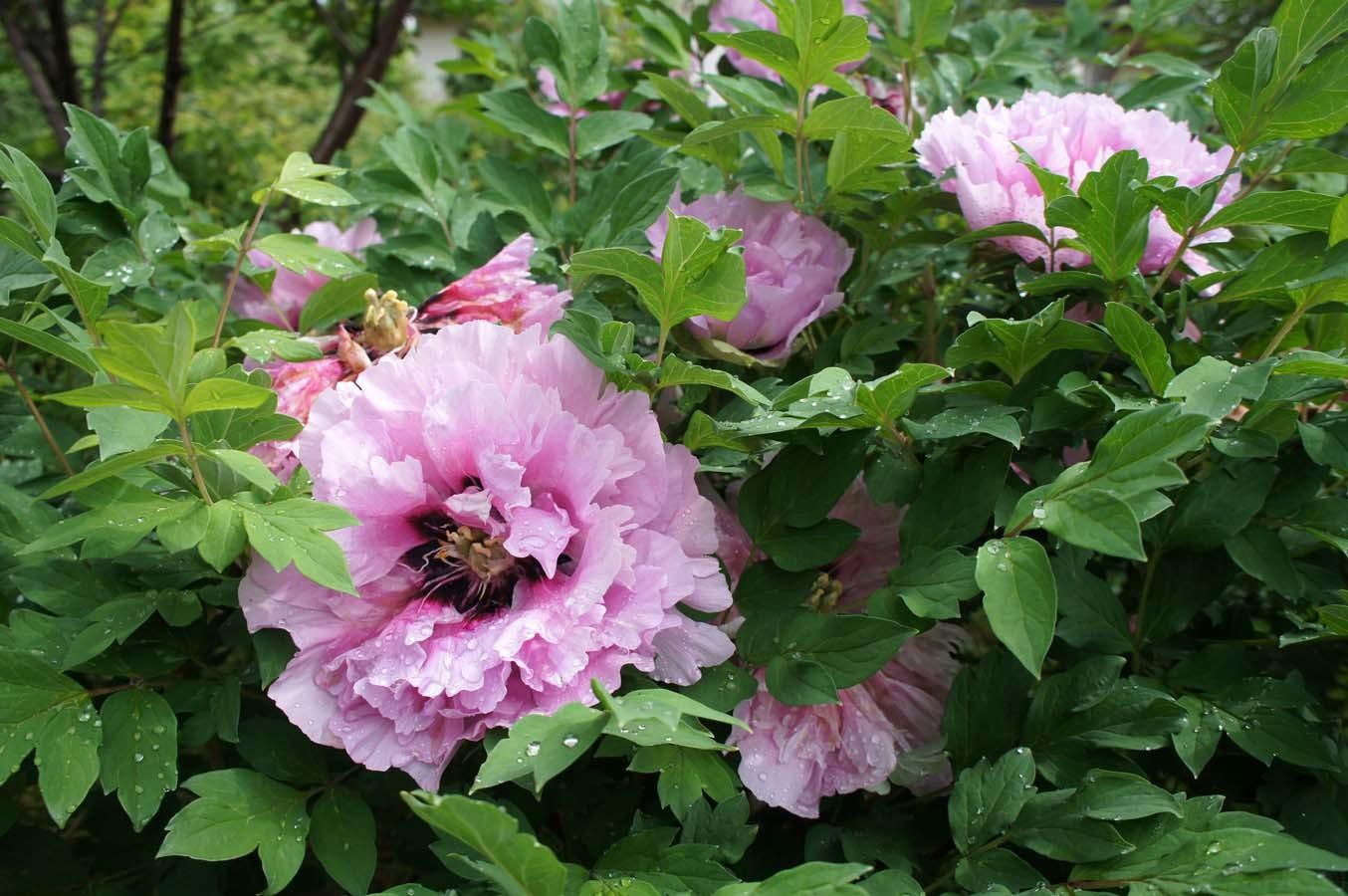 Древовидный пион Рока(Paeonia rockii)