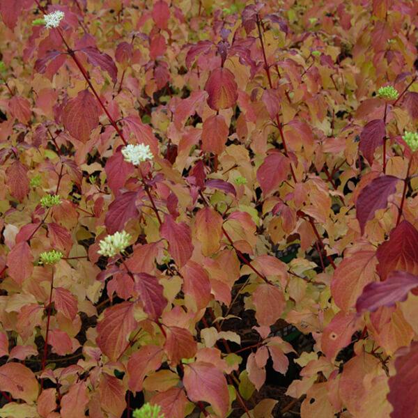 Дерен белый кроваво-красный 'Midwinter Fire', Cornus sanguinea 'Midwinter Fire'