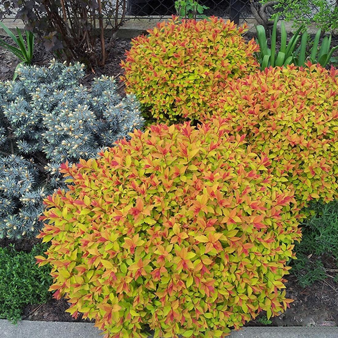 Спирея японская 'Goldflame', Spiraea japonica 'Goldflame'