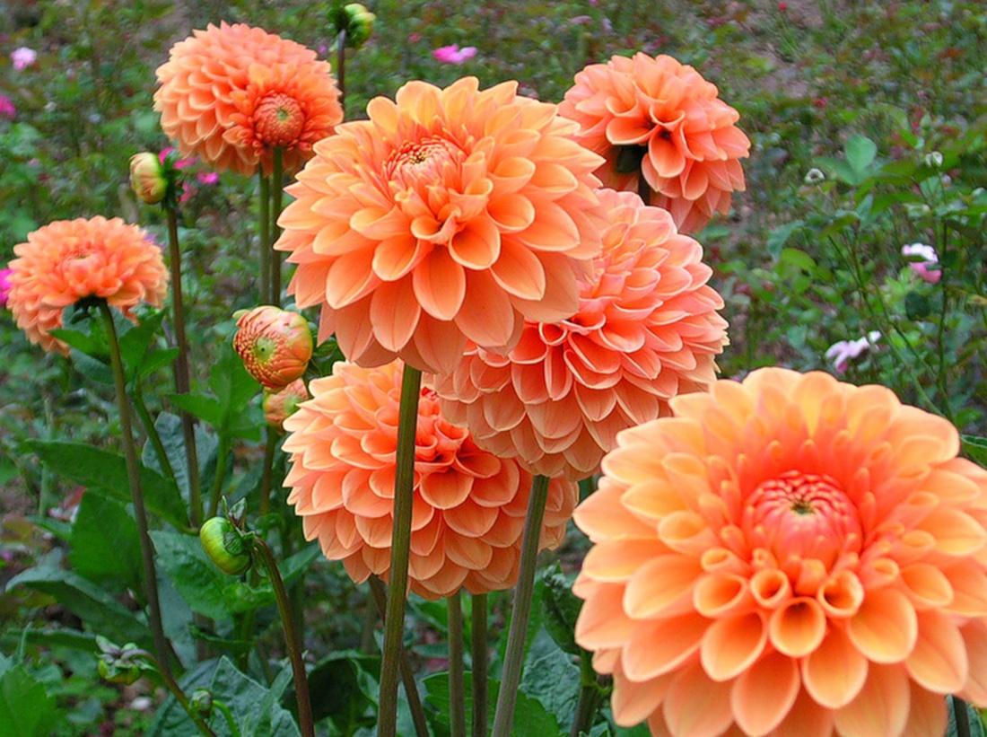 Карликовая георгина Orange Nugget
