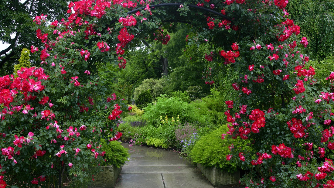 Плетистая роза часто украшает арки и перголы