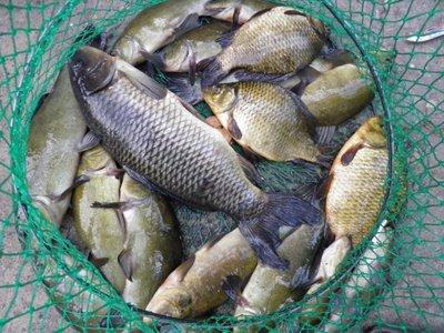 Если же вы не прочь порыбачить на берегу своего собственного водоема и потом устроить пикник с пойманной рыбой, то вам подойдут такие виды рыбы для пруда, как стерлядь, карп обыкновенный, толстолобик, линь, белый или черный амур, карась обыкновенный.