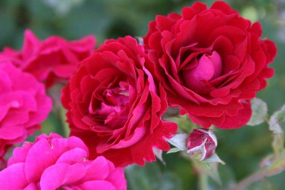 Роза - яркая и прекрасная