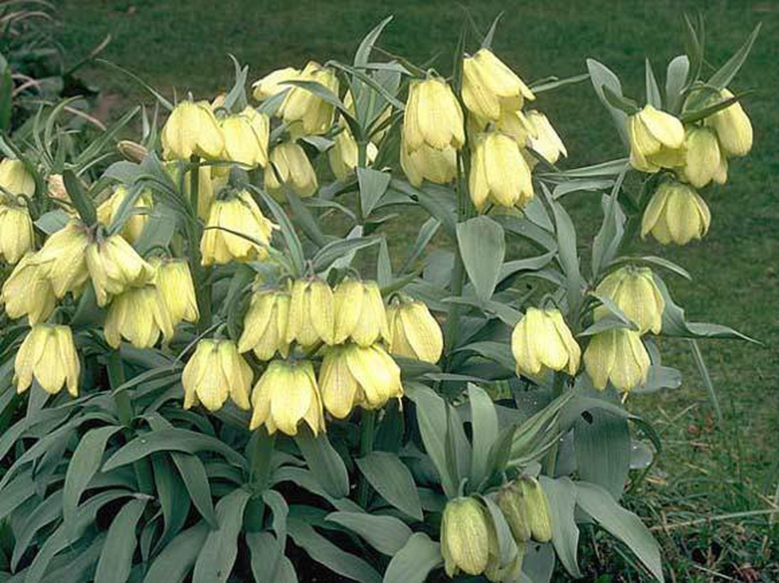 Рябчик бледноцветковый (Fritillaria рallidiflora).