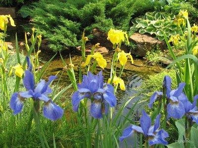 Береговая зона пруда декорируется растениями,обычно растущими в прибрежной зоне.Однако и некоторые,привычные нам, садовые растения(ирисы,осоки) так же впишутся в оформление пруда.