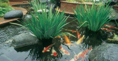 Если вы хотите любоваться водоемом и проводить время возле пруда, общаясь с его обитателями, вам подойдет декоративная прудовая рыба – золотые рыбки, карп Кои или цветные караси.
