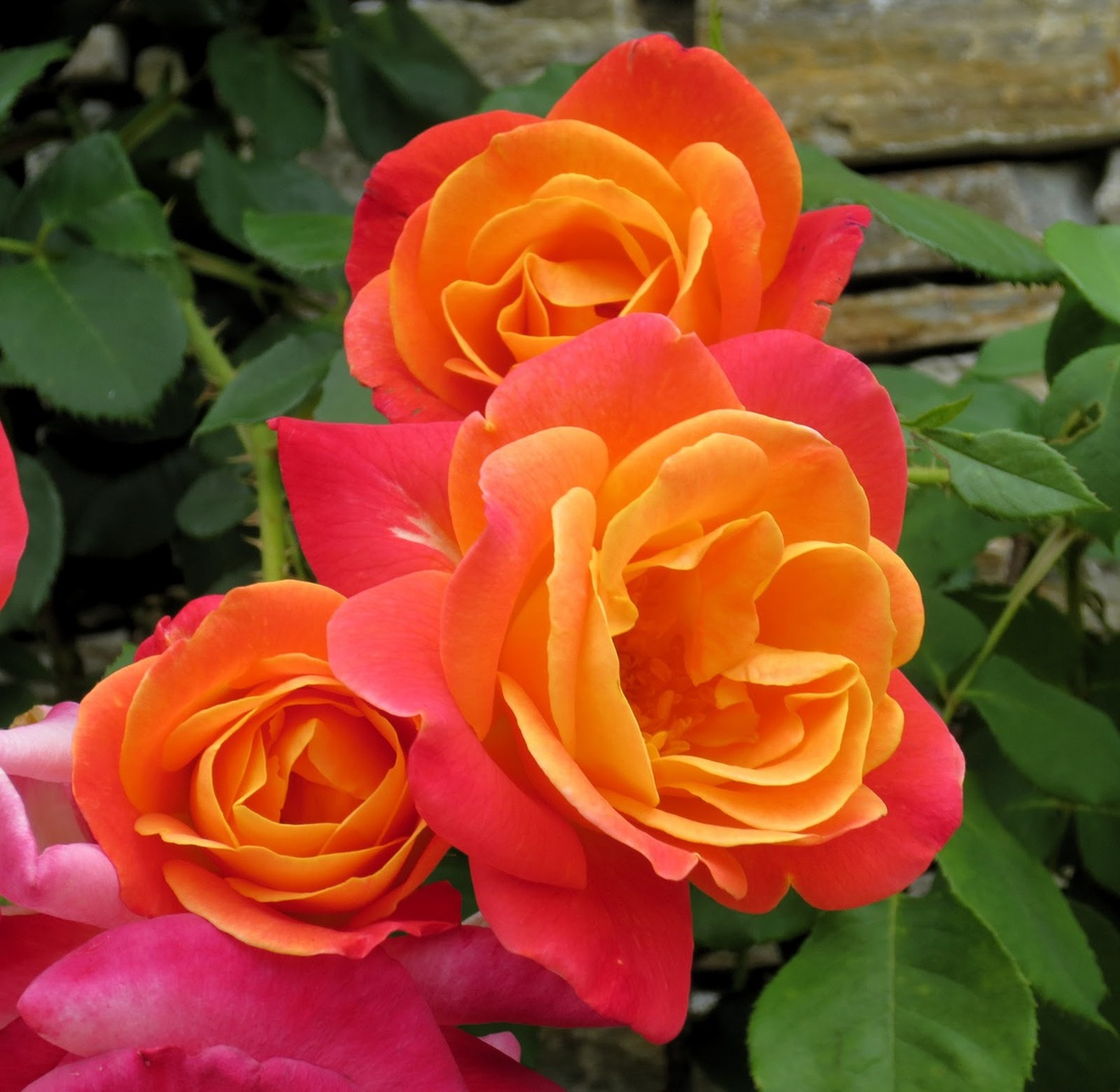 Joseph's Coat Rose Climber