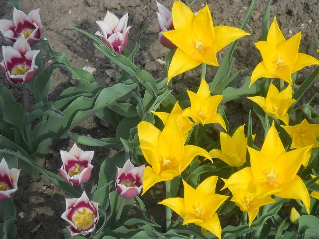 Тюльпаны предпочитают хорошо освещенные участки, недоступные для холодного ветра и сквозняка.
