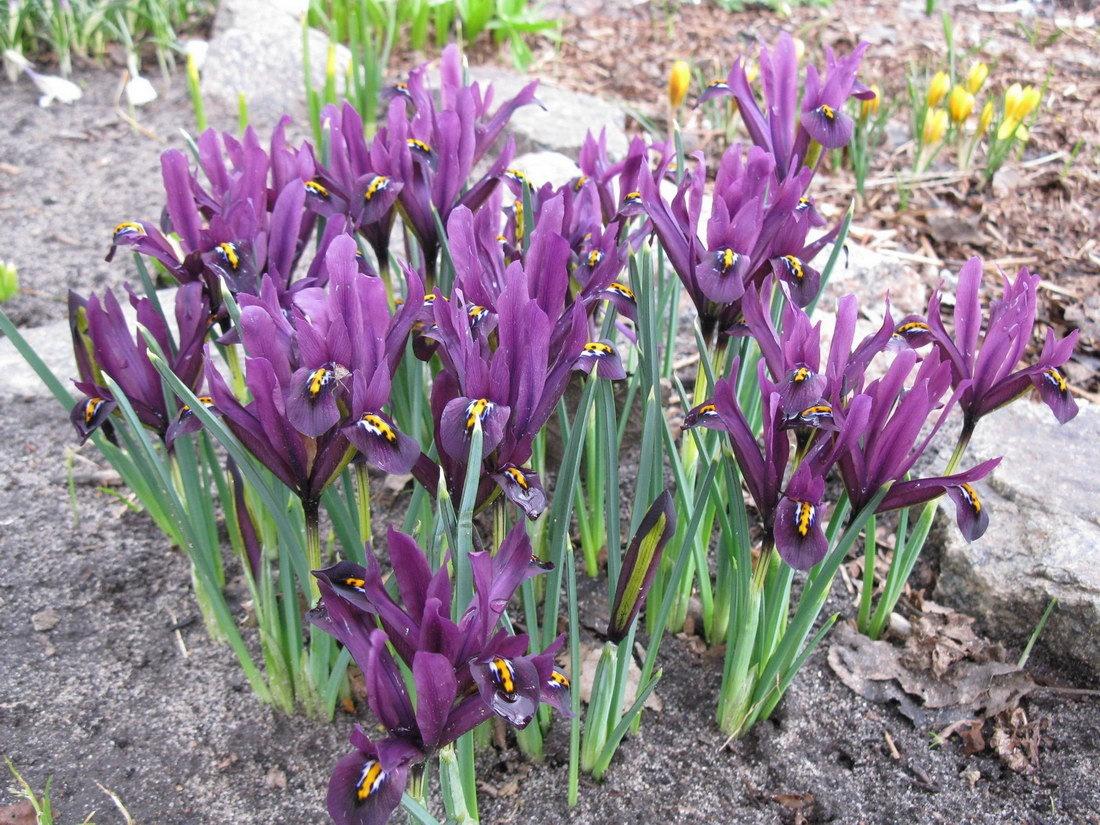Карликовый ирис - отличный цветок для альпийских горок и лужков.