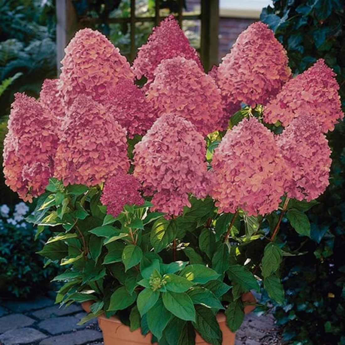 Гортензия метельчатая 'Sundae Fraise', Hydrangea paniculata 'Sundae Fraise'