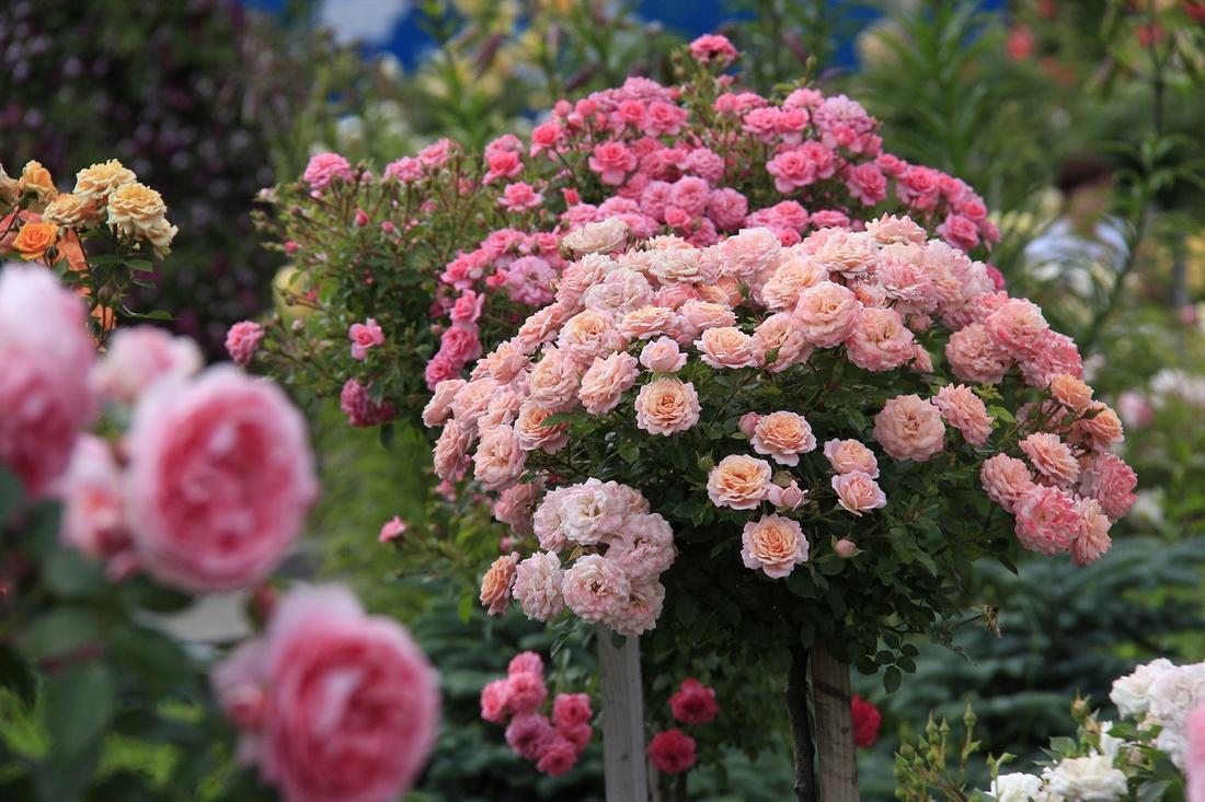 .Все розы, в том числе и вьющиеся,предпочитают теплую и солнечную южную экспозицию и не переносят застоя воды у корней. Желательно прикрыть кусты от северных ветров.