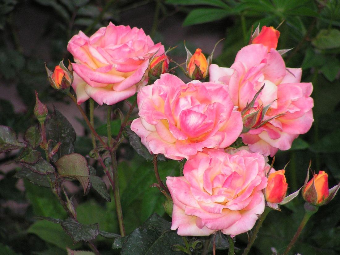 Для роз с многочисленными вьющимися побегами на опорах сделайте дополнительные поперечные перекладины.